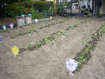 畑全部に植えられました!