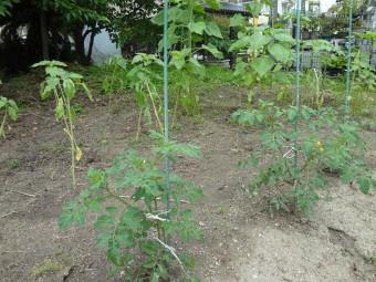 畑のトマトとヒマワリも大きくなってきました