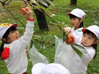 最初に大枝の柿を採ります